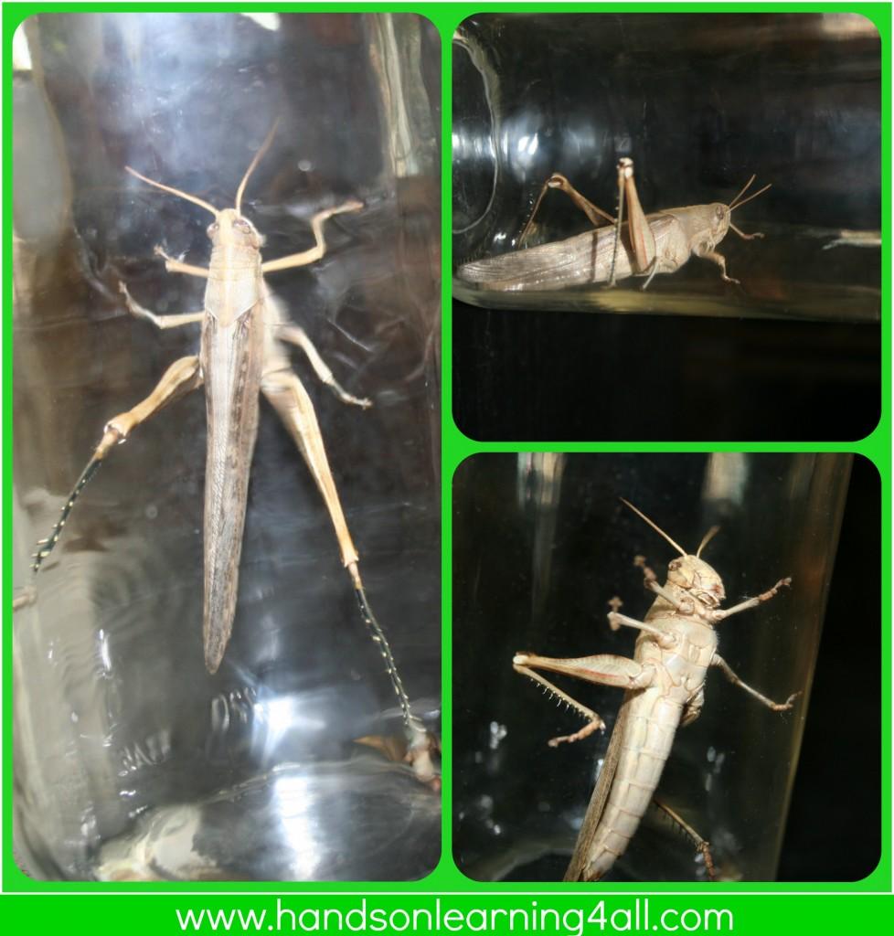 Grasshopper collage